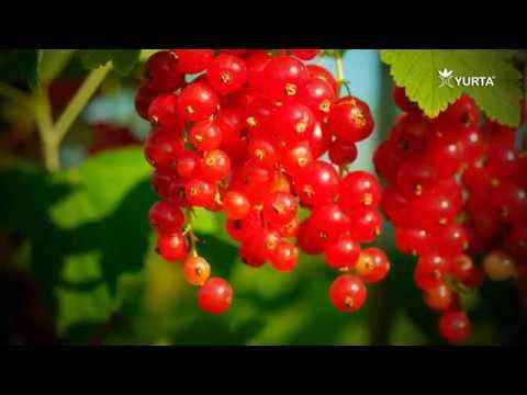 Plantarea Arbustilor Fructiferi -Coacazm, Agris, Josta