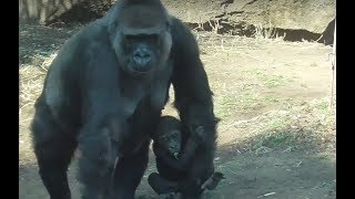 """01. cute! Gorilla baby (4 months old) """"Riki"""" at Ueno zoo.ゴリラの赤..."""