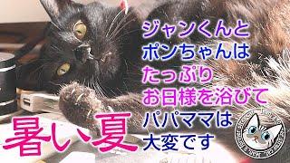 夏本番でも猫はお日様を欲しがり仕方なく窓を開ける【Jean & Pont 2201】2020/8/3 #保護猫 #凶暴から甘えん坊へ