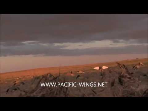Goose Hunting with Pacific Wings in Saskatchewan using Power Feeder motion decoys