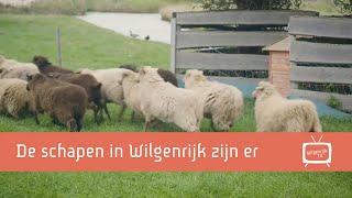 De schapen zijn inmiddels gearriveerd en voelen zich schaaplekker op hun eigen eiland in Wilgenrijk.