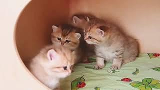 Котята пирожки