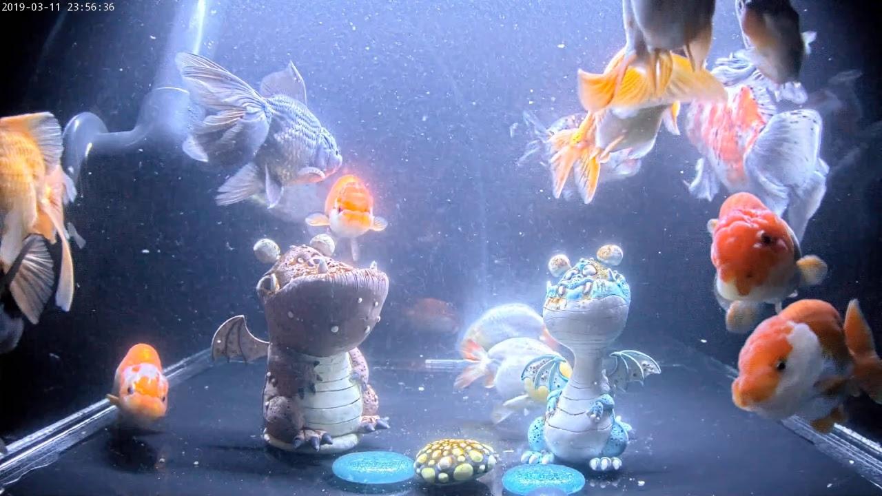 East Coast Ranchu Goldfish Live Stream CAM 1