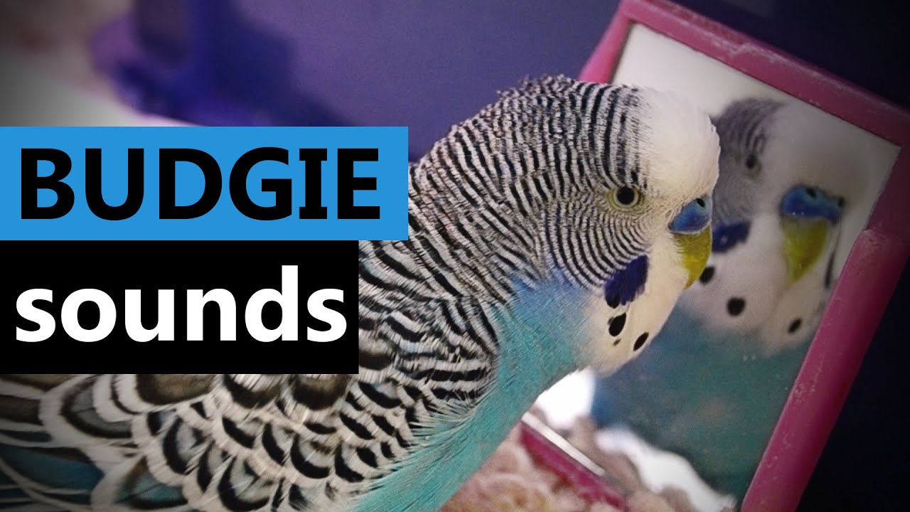 Sounds Of Budgie Parakeet Budgerigar My Cookie Talking