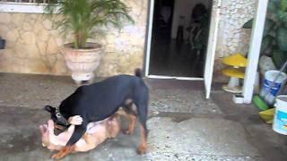Rottweiler Vs Pitbull New
