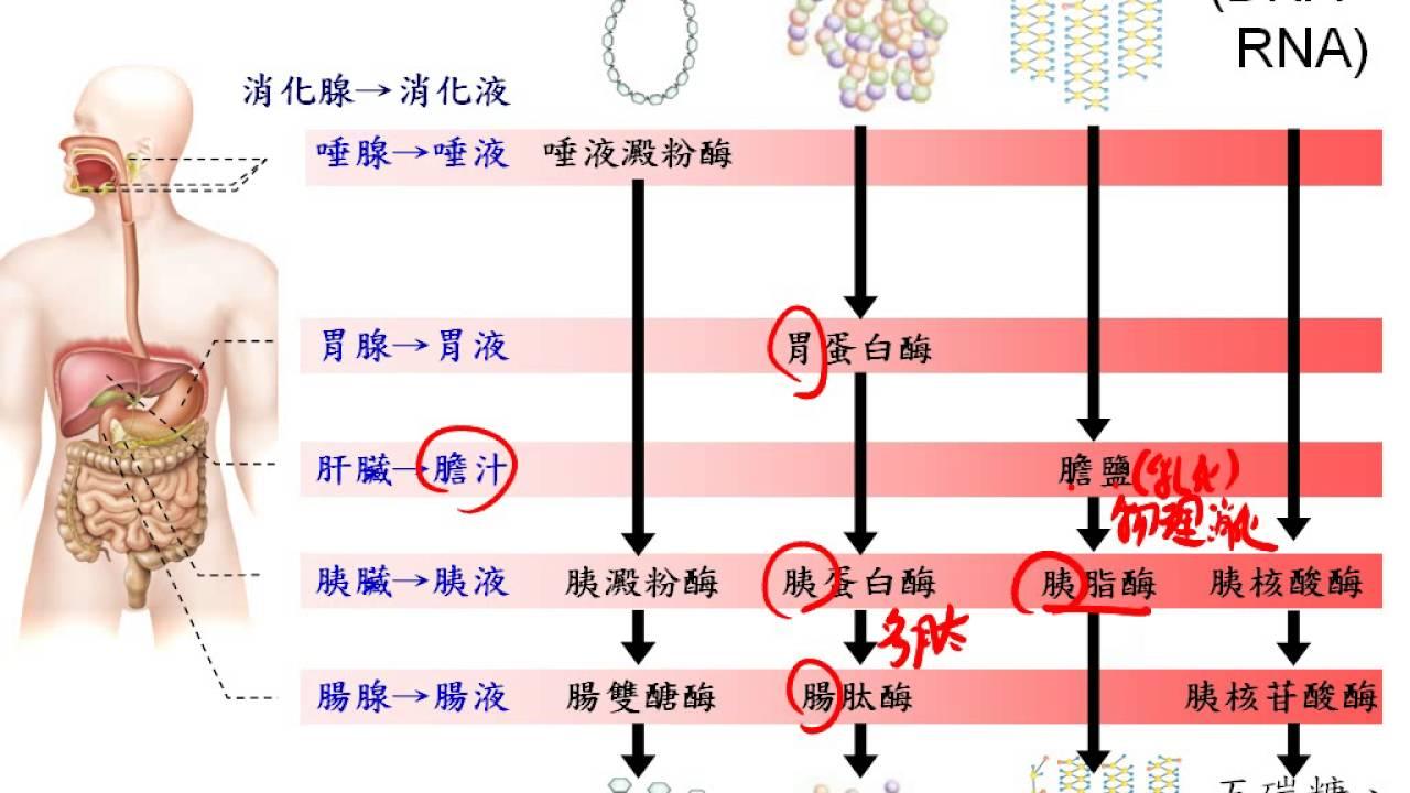 基礎生物3 2 05消化液中消化酵素...