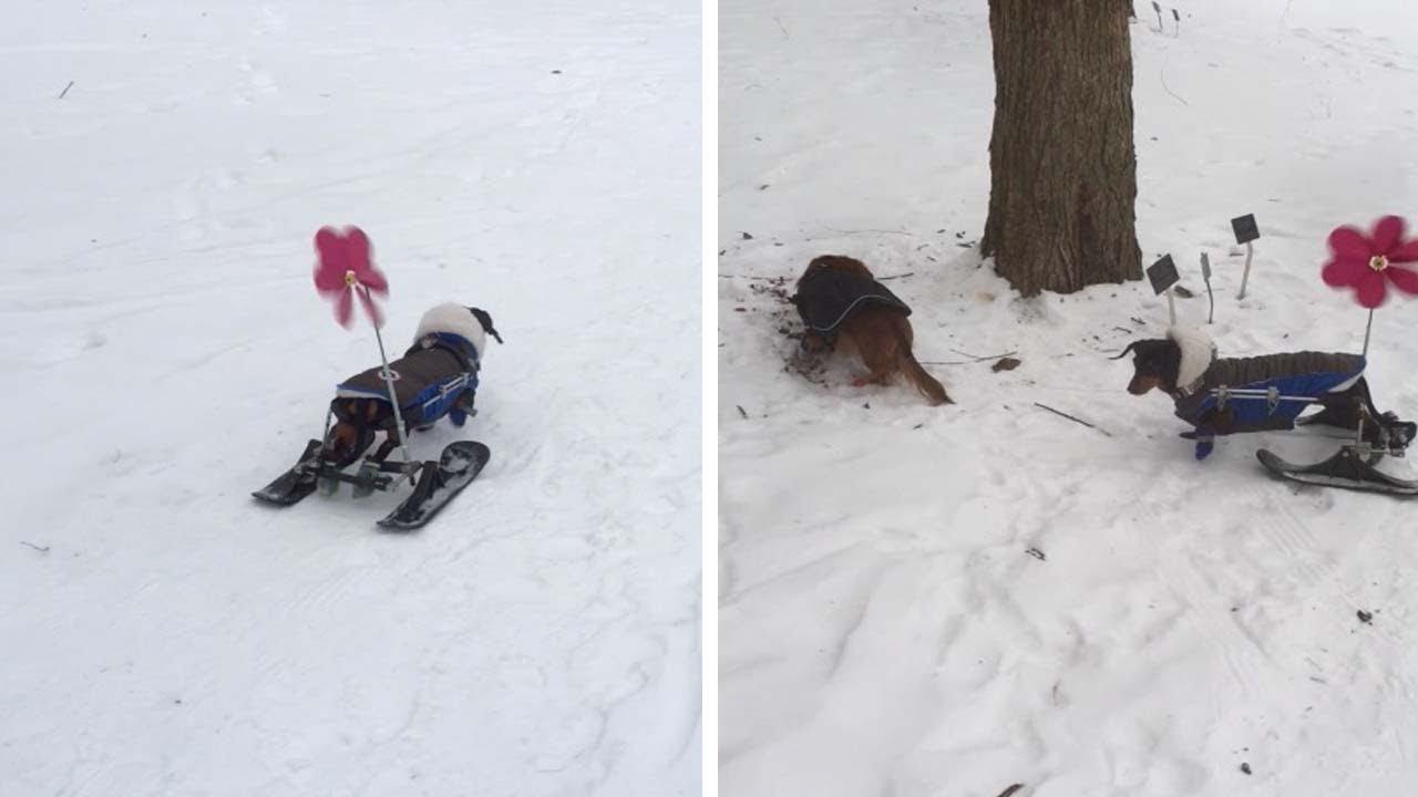 Кученце со хендикеп добива скии за да може да трча на снегот