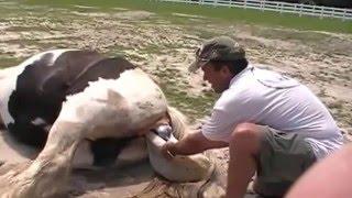 лошадь рожает