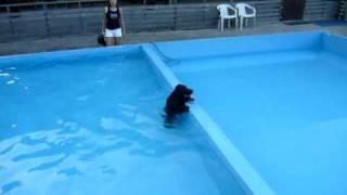 イングリッシュコッカースパニエル「ルーク」はプールが大好き! でも、...