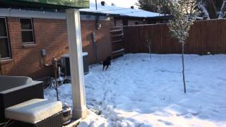 Ramona the Border Collie running laps in some fresh snow.