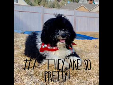 12 Reasons Portuguese Water Dogs are the best Dog Breed on  earth?
