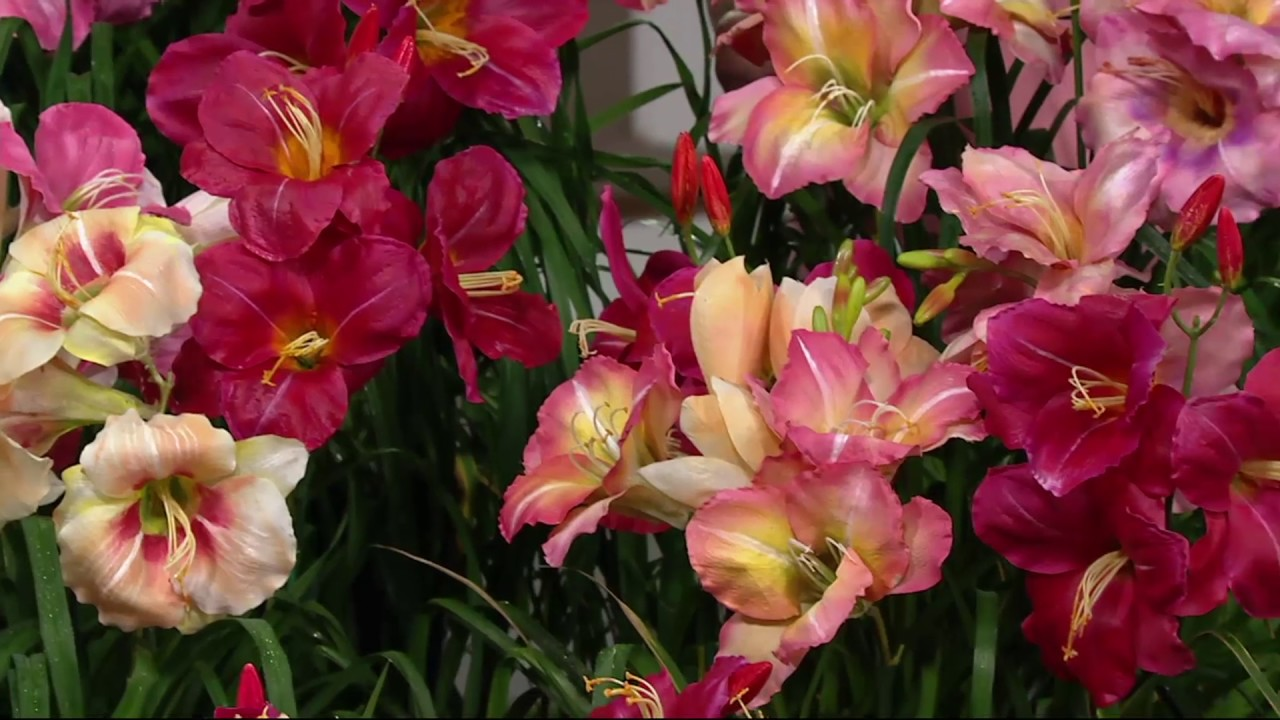 Robertas 9 Piece Immense And Fragrant Reblooming Daylilies On Qvc
