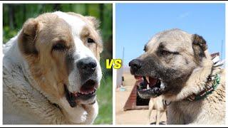 Alabai vs Kangal¿CUAL ES MÁS PODEROSO?
