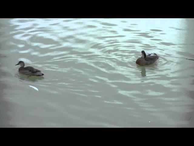Canards Sarcelles du Brésil 30739000