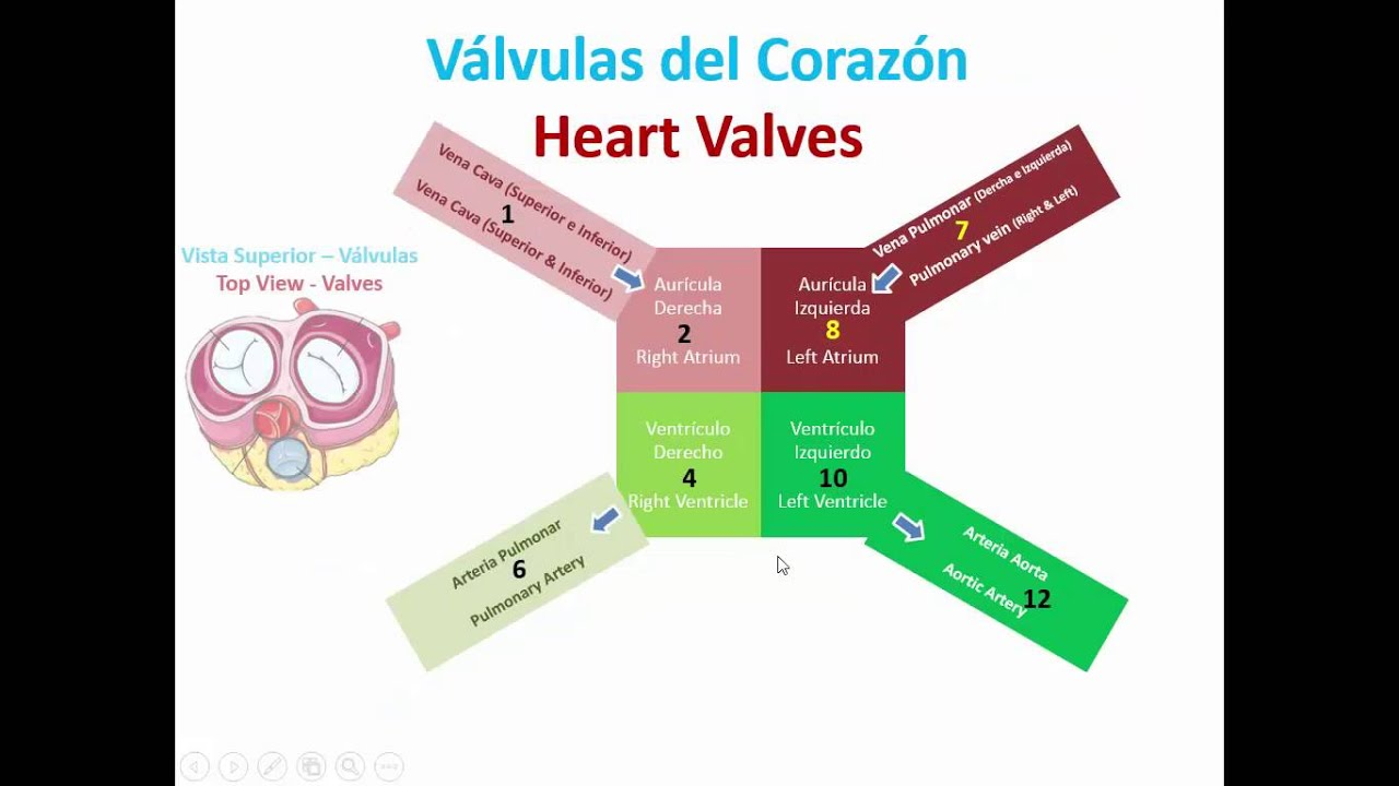 Basic Anatomy and Physiology of the heart - YouTube