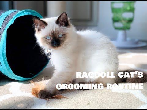 My Ragdoll Cat Alfie's Grooming Routine