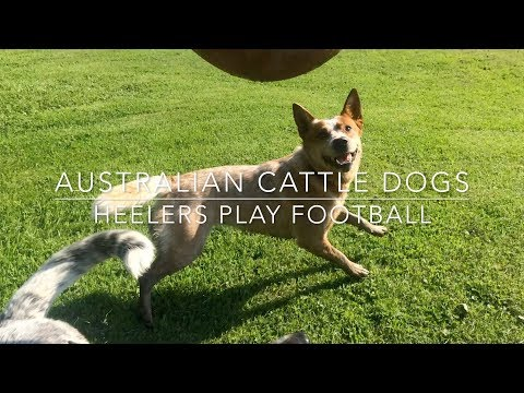 Dogs play football | Australian Cattle Dogs