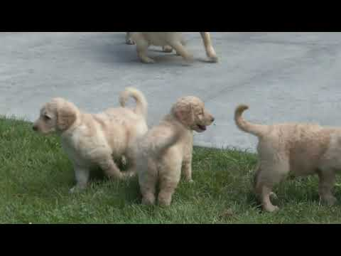 Miriam Weaver's Goldendoodle puppies  for sale