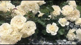 Цветение Роз Blanc Meillandecor Rosarium Uetersen  питомник Елены ИВАЩЕНКО