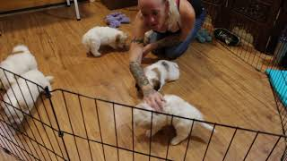 Coton Puppies For Sale - Peaches 8/13/21