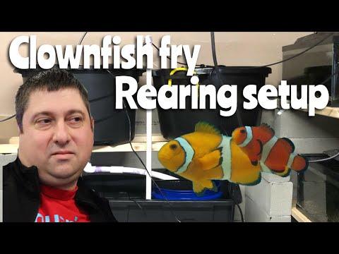 Clownfish Fry Rearing Setup