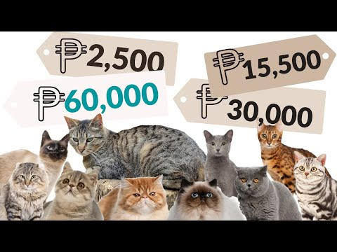 The real COST to own a CAT | Best CAT BREEDS in  the PHILIPPINES
