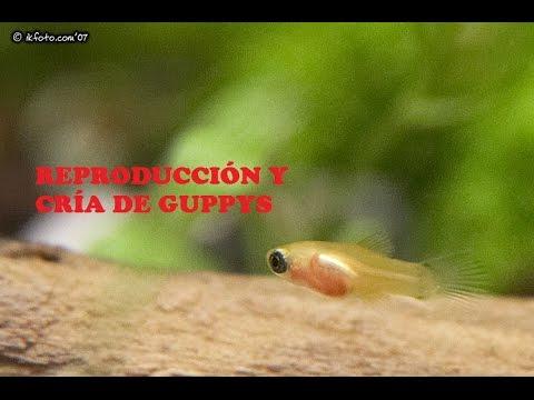 C mo criar peces guppy doovi for Peces para criar
