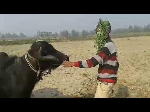 مزاحیہ ویڈیو سنی دیول