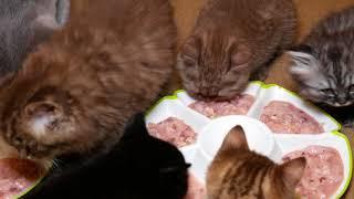 Обед в питомнике британских кошек