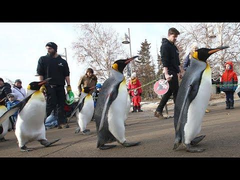 Penguin Walk Returns At Calgary Zoo