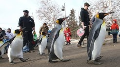 Penguin Walk returns at Calgary Zoo