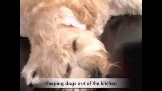 Free Top Dog Training Tip #1 – Keep Your Dog Out The Kitchen