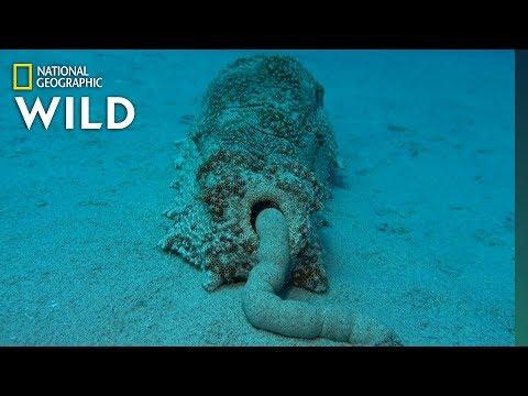 Sea Cucumber Poop Is Surprisingly Good For the Ecosystem | Nat Geo Wild