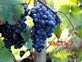 """Поделки - Саженцы из саженцев. Продолжаем эксперимент - укоренение """"спичек."""" Виноград центр /the grapes center"""
