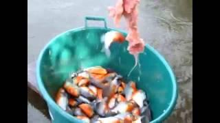 Pescando Piranhas - Aprenda a Pescar Piranhas
