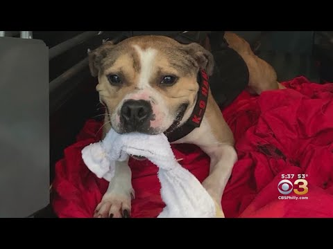Captain Tony - A Rescued Pitbull Is The First To Ever Become A K9 Arson Detective