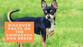 Discover Facts on the Chihuahua Dog Breed