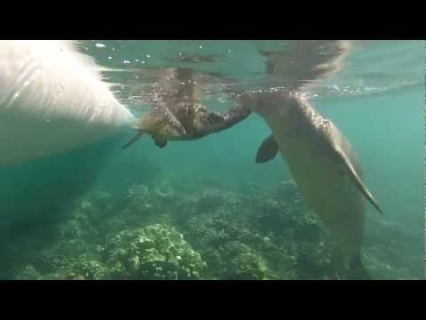 Rare Hawaiian Monk Seals Interacting with Green Sea Turtle. Never seen before! 3.18.13 (part 2)