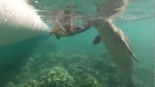 Rare Hawaiian Monk Seals plays with Green Sea Turtle. Never seen before! 3.18.13 (part 2)