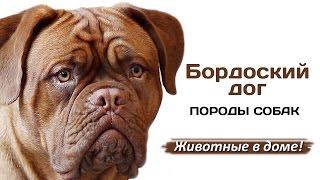 Бордоский дог - породы собак.
