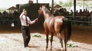 OFER MEIRI ARAB HORSE 2