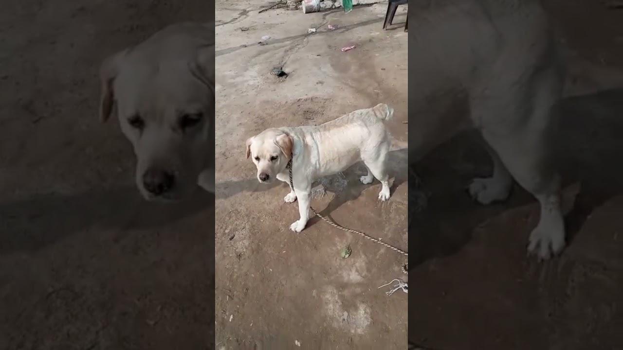 Labra female dog video 😂 Family dog vedio 🥳 #short #shorts