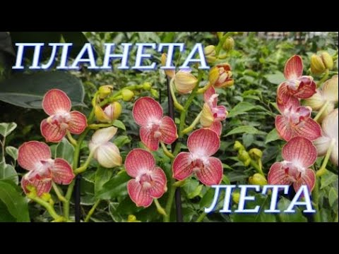 Свежие орхидеи (Трелипс), садовые и комнатные растения в Планета Лета