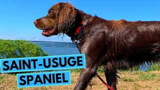 SaintUsuge Spaniel Dog Breed  Facts and Information
