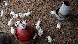 видео Вірус пташиного грипу