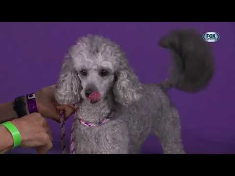 The 2021 Westminster Dog Show Agility Competition had some ...