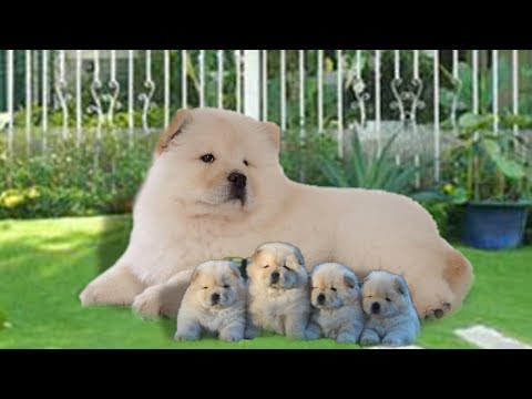 Mother Chow Chow dog in labor and giving birth to many cute puppies