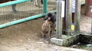 福知山市動物園にて ウリ坊の上にニホンザルの子どもがしがみついています。
