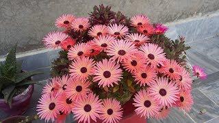 Ice plant mesembryanthemum - grow and care