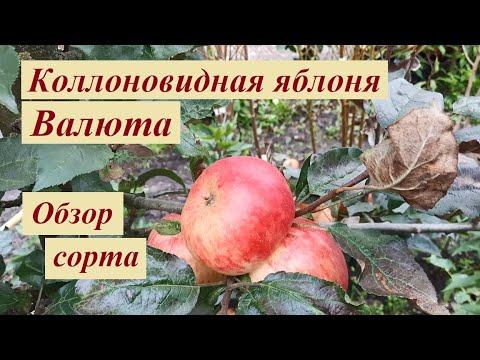 Яблоко Валюта (колонна) обзор сорта